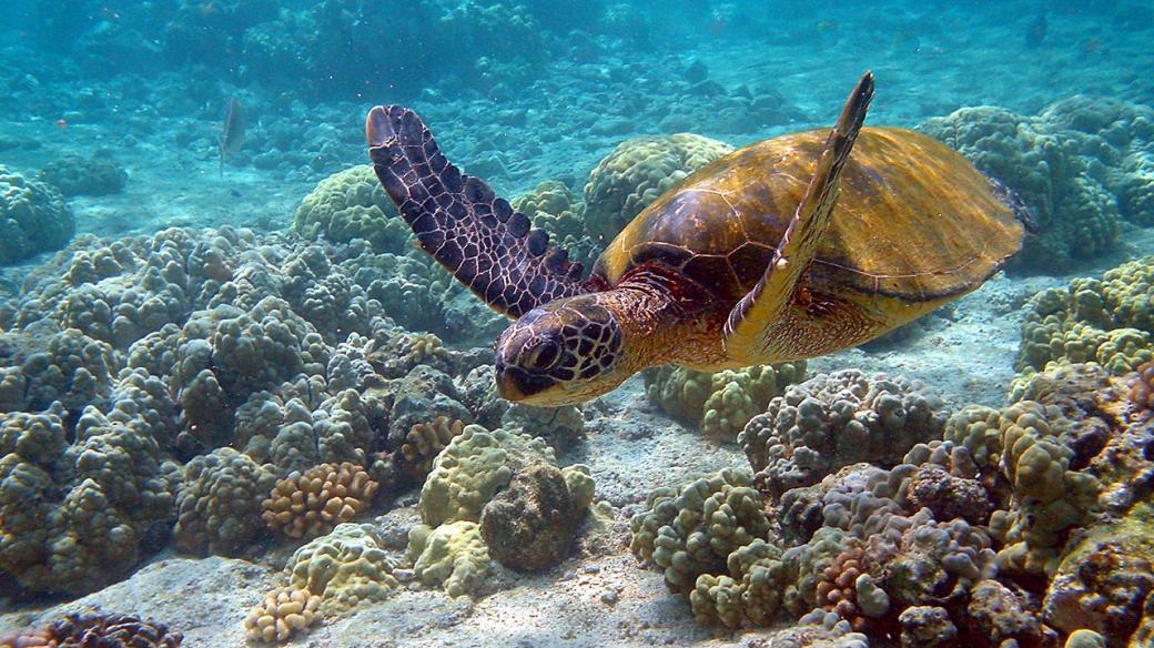 Kareta obrovská plave u korálového útesu na Havaji