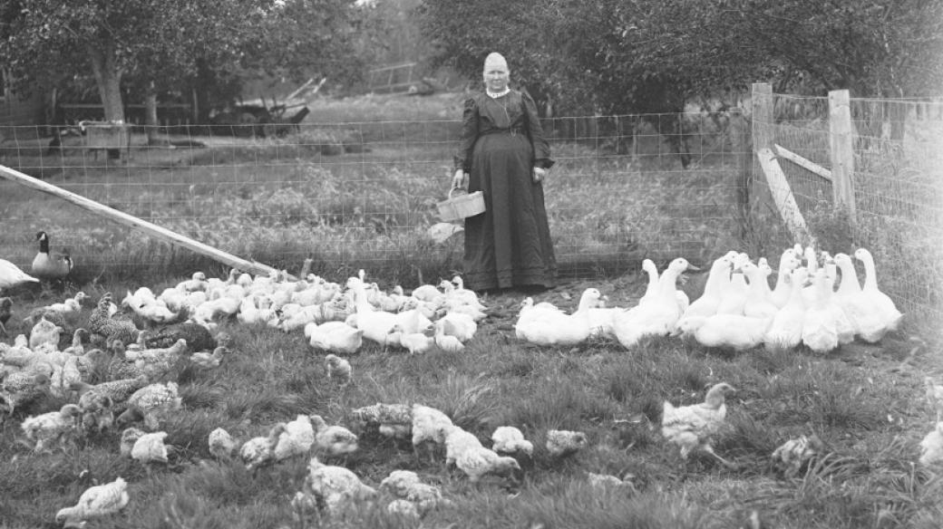 Husy na pastvě (ilustrační snímek, kolem roku 1900)