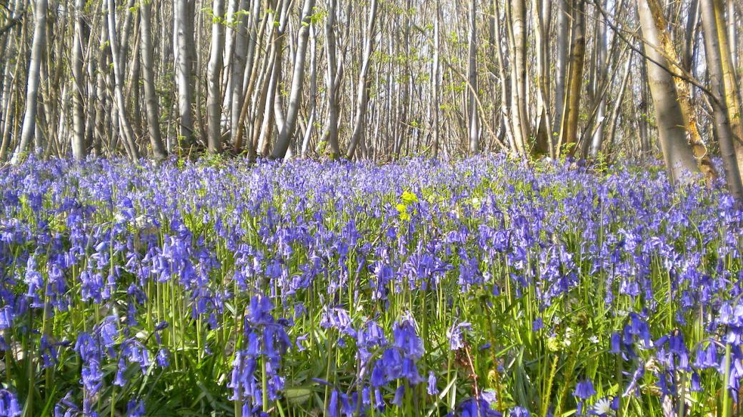 Výmladkový les s porostem zvonků v Anglii