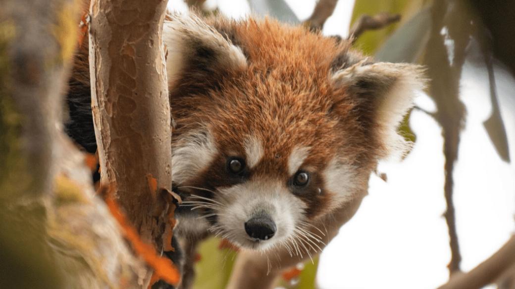 Vědci monitorují pohyb červených pand