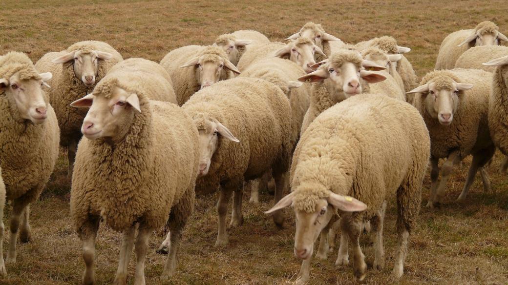 Ovce, stádo ovcí, pastvina