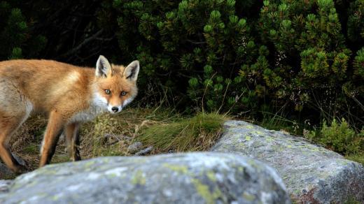 Liška (ilustrační foto)