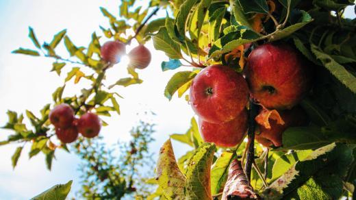 jablko - jabloň