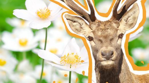 Kde se vzala slova, jako jsou sasanka nebo jelen?